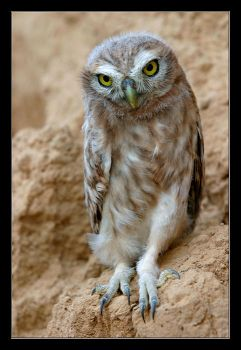 Little Owl - Athene noctua by invisiblewl