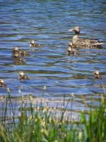 Ducklings by theNanna