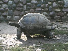 Aldabra Tortoise by teamrocketavenger
