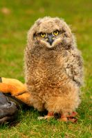 African Spotted Eagle-owl by Tinap
