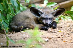 Baby Bat-eared Fox by amrodel