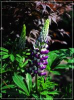 purple lupinus... by FeliFee