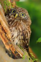 Little Owl by JoostvanD