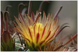 Cactus Blossom by W0LLE