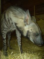 Striped Hyena by fiszike