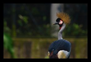 Crowned Crane by WiDoWm4k3r