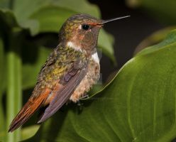 bring me a smile - Scintillant hummingbird by Jamie-MacArthur