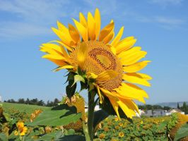 The Sun Flower by Agatje