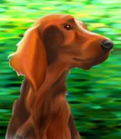 irish setter by mau