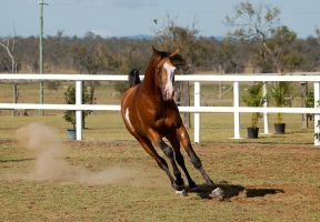 GE arab pinto canter front on stallion by Chunga-Stock