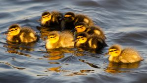 Ducklings at Sunset by dog123456