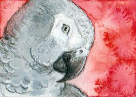African Grey Parrot ACEO by Stormslegacy
