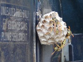 Yellow Jacket Wasps Nesting 1 by FantasyStock