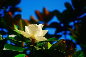 Magnolia Flower Side View by EJordanPhoto