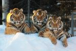 The Three Tigers by Sagittor