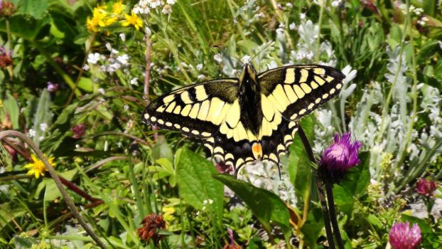 The Swallowtail Butterfly by RyanHaas
