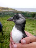 Fledgling Puffin by Shadow-and-Flame-86