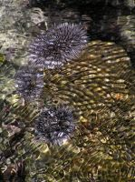 Sea-Urchins UnderWater by Jenvanw