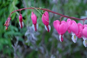 pink bleeding heart by LucieG-Stock