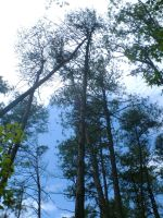 Tall trees II by Sheighness