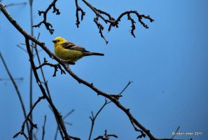 Sudan Golden Sparrow by meihua