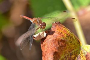 Male Ruby Meadowhawk by wreckingball34