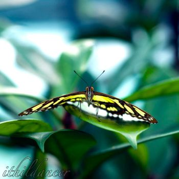 Yellow butterfly by ithildancer