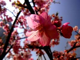 STOCK JAPAN CHERRY AND PLUM NO:040040012 by hirolus