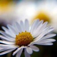 Daisy dreams II. by zajdausacek