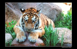 Siberian Tiger 5 by grugster