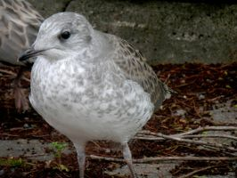 Young Seagull by mityrose