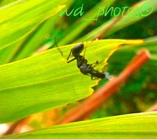 Spider Ant by WillisDuah
