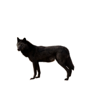 Black Wolf PNG by ShadowedxLegacy