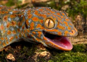 Happy Tokay by AngiWallace