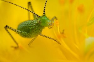 Speckled Bush Cricket Baby 2 by Alliec