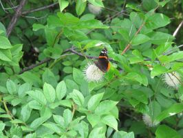 Red Admiral Butterfly on Buttonbush 9 by Windthin