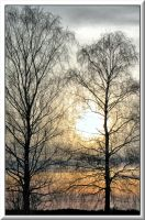 Birches... by Yancis