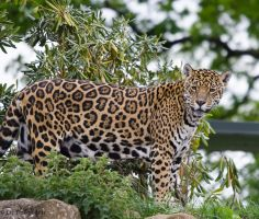 Jaguar Stare by Red-Smurfette