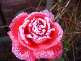 A Frosty Rose by beadtheweed