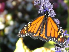 Male Monarch by MTaylorPhotography