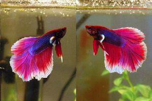 New Betta, Mr. Pink by caroro-stock