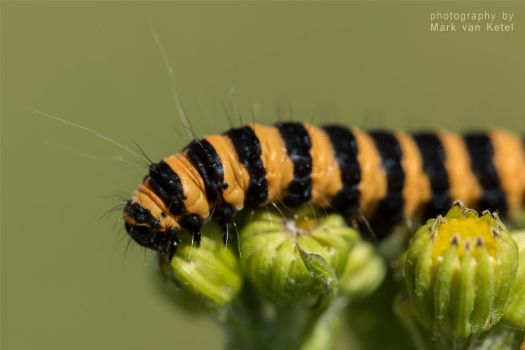 Tyria Jacobaeae (Larva) II by blizzard2006
