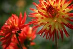 dahlias in cologne 3 by ingeline-art