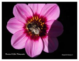 Pink Bumble Bee by Random101Girl