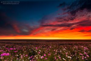 Cosmos Twilight by LinRuPhotography