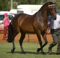 Bay-warmblood-9 by tbg-stock-images