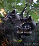 3 Raccoons in a Tree by abstractcamera