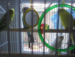 My parakeets by Soniario12