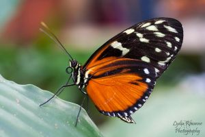 Hecale Longwing by LydiaRhianne