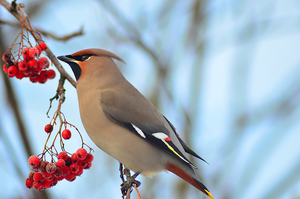 Bohemian Waxwing by Tapire